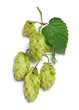 branch of hop