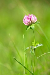 Kleeblüte nach dem Regen / Red clover after the rain