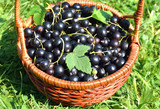 Organic blackcurrants berry in basket