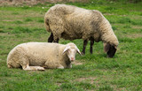 Sheep laying and grazing on grass land