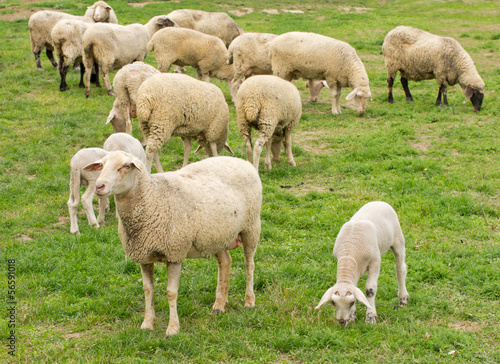 Sheep and lamb grazing on grass land