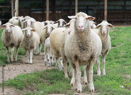 Herd of sheep stand on grass field