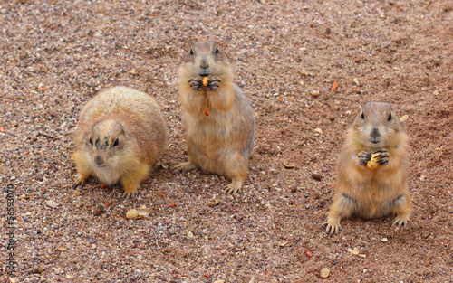 Prairie Dogs Snack Time