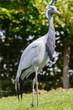 Chinese kraanvogel