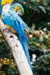Blauwgele ara