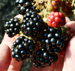 Blackberries, harvest, autumn