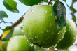 Green apples on a branch in a garden