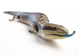 a blue tongue lizard poking its tongue out on a white background