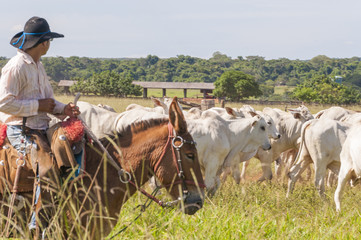 Fazenda Mato grosso Gado nelore, Farm nelore cattle in brazil