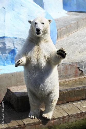 Aluminium Ijsbeer Polar bear standing on its hind legs.