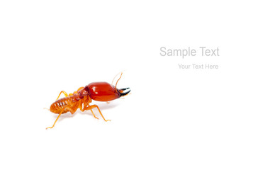 soldier termite macro shot and isolated on white