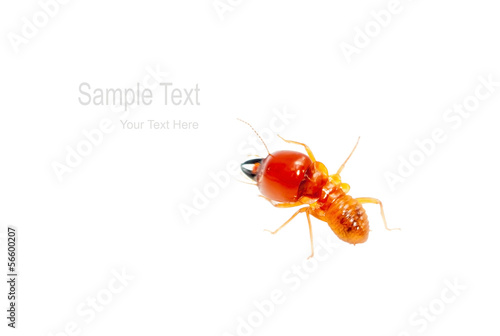 soldier termite isolated on white