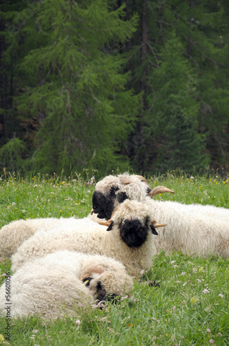 Sheep in field outside Furri in Swiss Alps