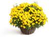 Gelbe Chrysantheme