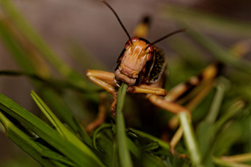 one locust eating