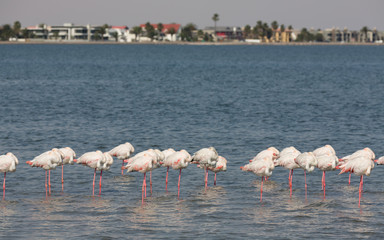 Flamingos over the water