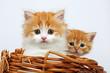 Zwei Kätzchen im Korb