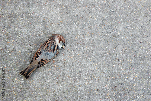 Tree sparrow lying dead on a concrete path