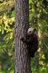 Bear cub climbs up the tree