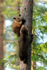 Bear cubs on tree
