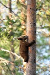 Bear cub climbing