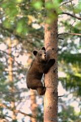 Bear cub climb up a tree