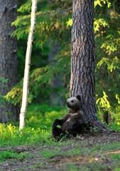 Bear cub lying