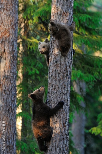Bear cubs climb up a tree