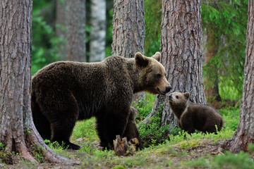 Bear with cubs in the forest