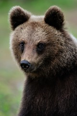 Young brown bear portrait