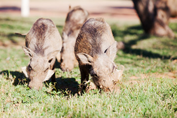 Three warthogs grazing in the wild