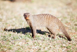 Banded mongoose in nature reserve in South Africa