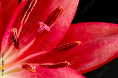Dark pink lily on black background