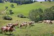 Vaches Montbéliardes en Alpage - Vercors, Isère, France