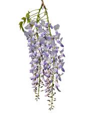 Chinesischer Blauregen (Wisteria sinensis)