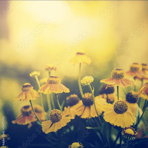 Rocznik fotografia pole żółci kwiaty w zmierzchu