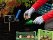Gardening, flower bulb - woman planting tulip bulbs