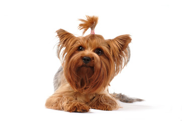 Lying portrait of yorkshire terrier