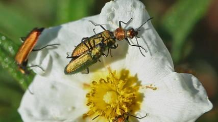 Cópula de escarabajos