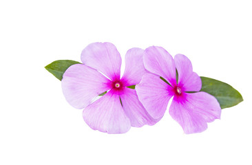 Two Pale Pink Flowers On A White Background