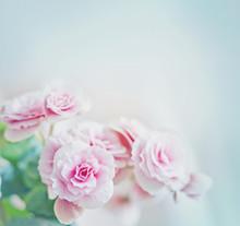 Roses dans le style vintage / fond de fleur rose