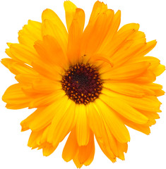 calendula isolated