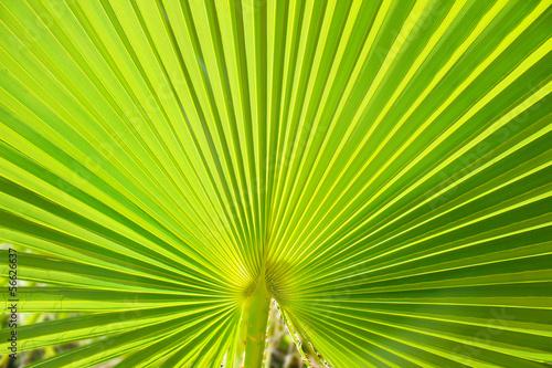 lisc-palmy-makro