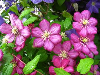 beautiful pink flowers of clematis