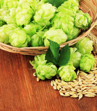 Fresh green hops in wicker basket and barley,