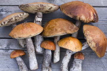 Leccinum mushrooms (aspen mushrooms)