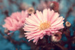 lovely pink autumn aster