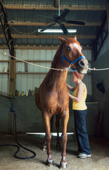 Woman Brushing Her Chestnut Gelding Horse in the Stables