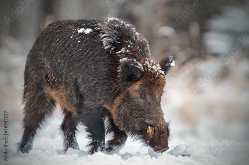 Wild boar runing in snow