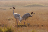 Couple of sarus crane in morning time, Teraï , Nepal poster